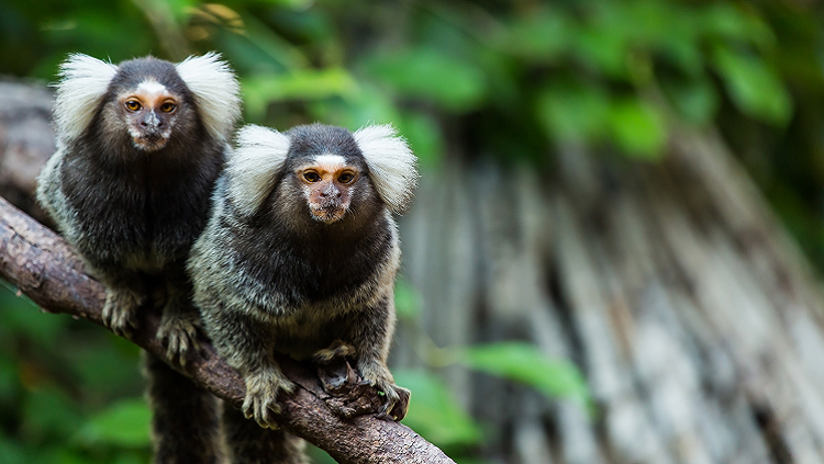 photograph of marmosets in a tree