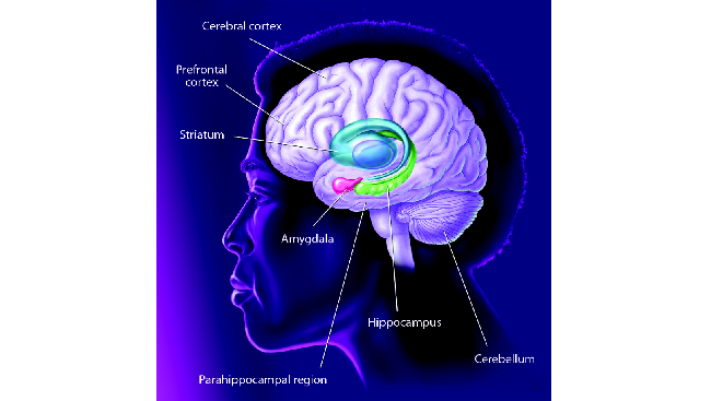 The brain areas involved in memory