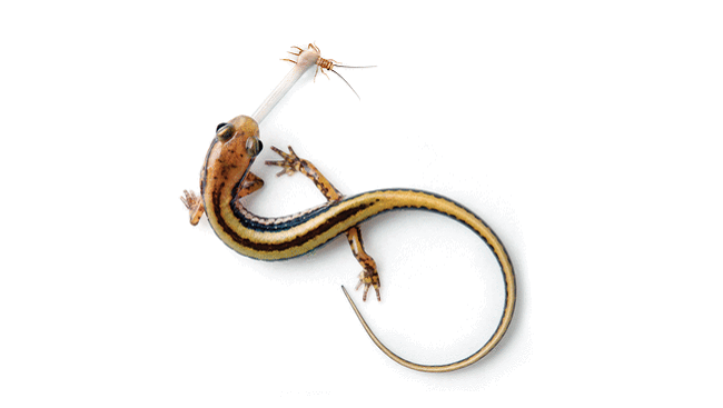 Scientists are studying the brains of salamanders to find out how they compensate for this delay. They've found that salamanders can predict the movement of prey in the wild and aim their tongue where they predict their meal will be rather than where it is. In this image, a yellow and black stripe salamander is catching its prey, a cricket.