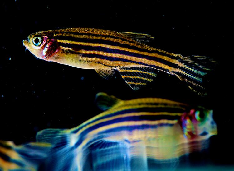 Colorful zebrafish