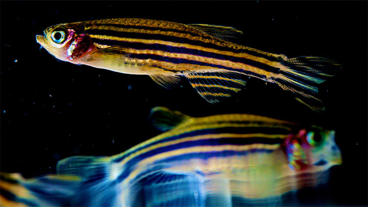 Colorful Zebrafish