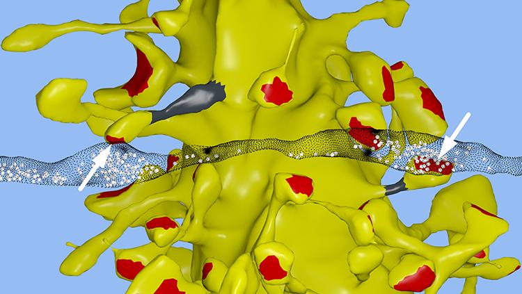 Image of computational synapses
