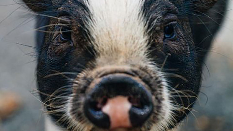 Close up of pig