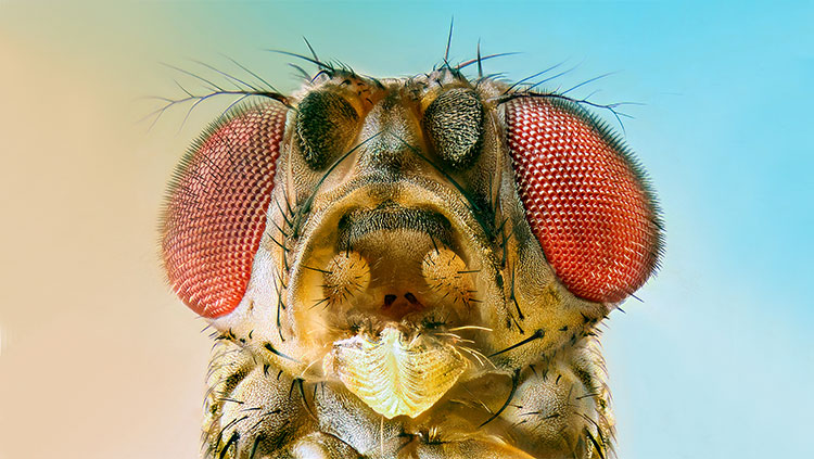 close up of fruit fly