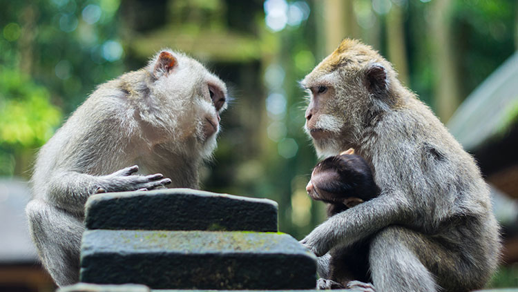 macaques looking at each other