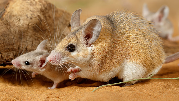 Female spiny mouse
