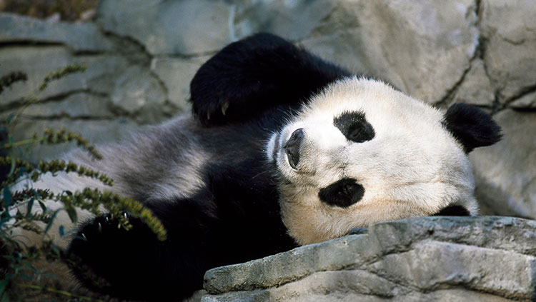 panda laying down