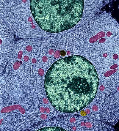magnified view of organelles inside a cell