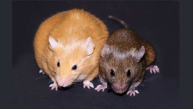An obese yellow Agouti mouse and a skinny brown Agouti mouse