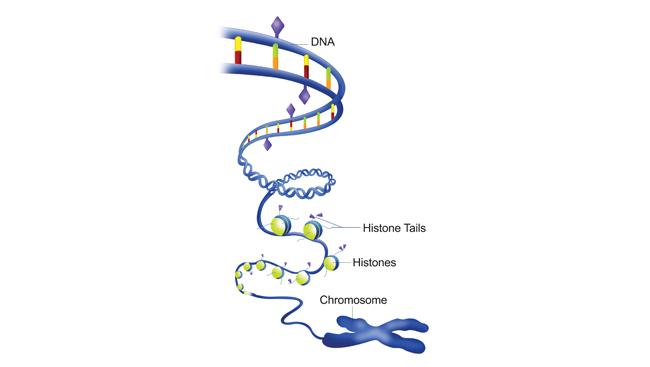 Epigenetic marks on histones