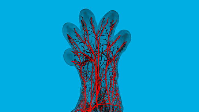 In this image, sensory nerve fibers (red) can be seen in the paw of a developing mouse embryo.