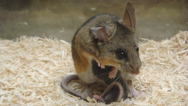 Scientists often use mice to study the changes in the brain brought on by parenting. Here, a male mouse nurtures one of his offspring.