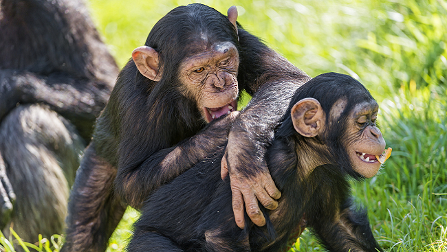 Young chimpanzees laughing and playing in grass.
