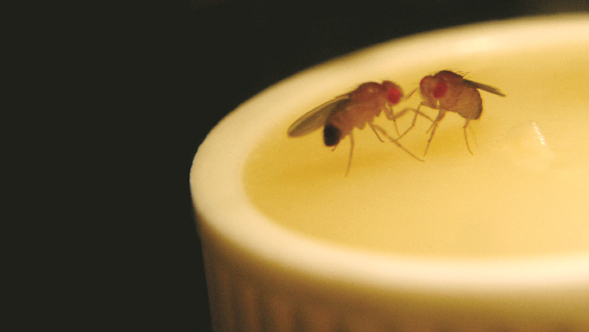 Fruit flies battle each other for control over territory