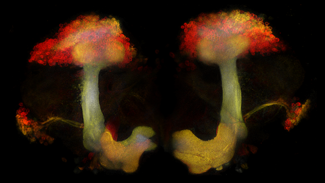 The Mushroom Body