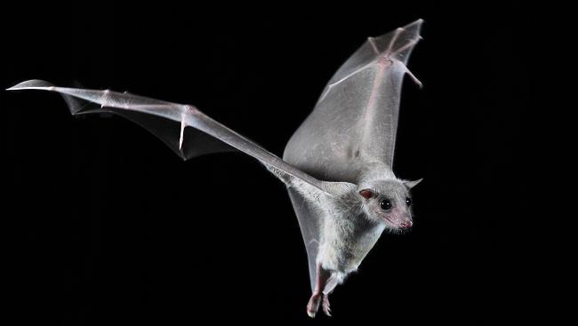 An Egyptian fruit bat in flight.