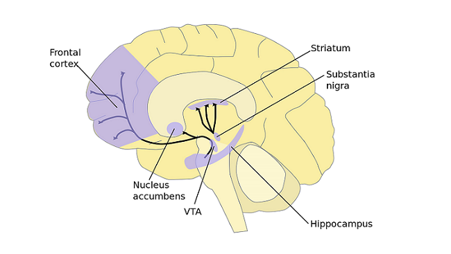 The major dopamine pathways in the brain are involved in motor control, motivation, and reward. Dopamine neurons in the ventral tegmental area (VTA) project to the frontal cortex, nucleus accumbens, and other areas, and these neurons play an important role in motivation and reward. Motor control is governed by dopamine pathways from the substantia nigra to the striatum.