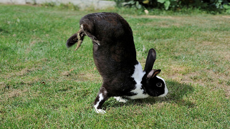 Black and white rabbit doing a handstand
