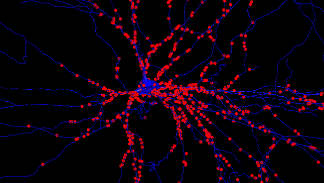 A motor neuron with synapses from muscle stretch receptors labelled in red.