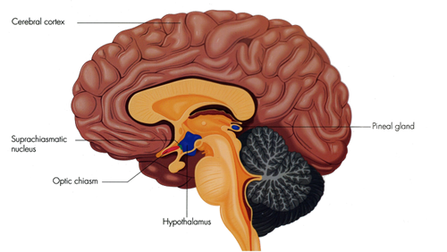 scn image brain