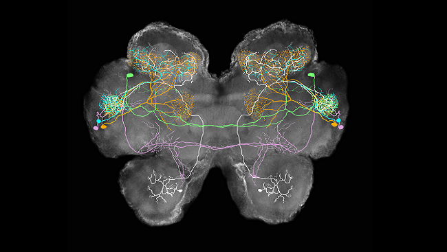 The image shows a collage of four types of lateral horn neurons (color) and an olfactory projection neuron (white) superimposed on the brain of a locust.