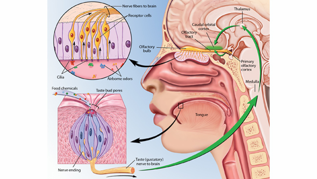 Diagram of taste and smell receptors