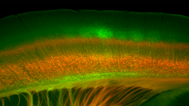 This image of a mouse brain shows the endings of nerve cells that transport sensory information (in green) from the thalamus, the brain's sensory relay station, to the barrel cortex, a part of the brain that processes whisker information. The neurons in red send information back to the thalamus to control the way the brain responds to the whisker sensations.