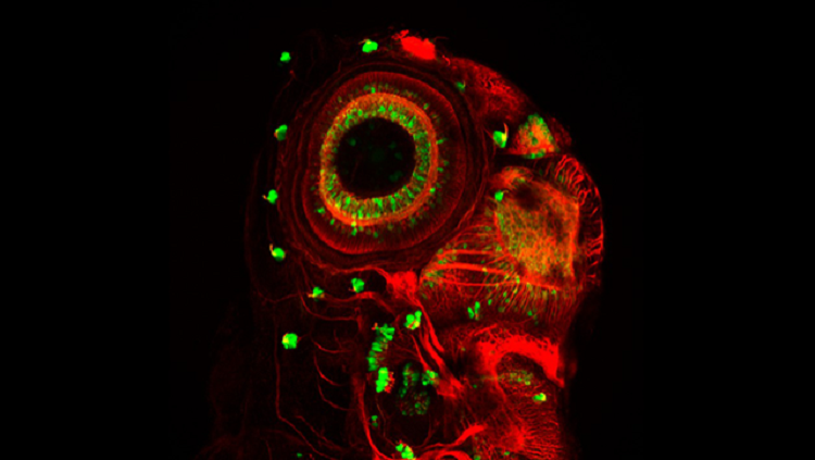 Image of a fish neuromast.
