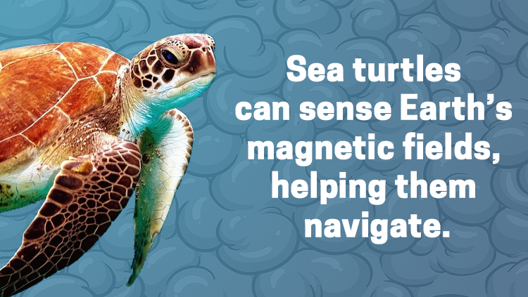 image of a sea turtle, sea turtles can sense Earth's magnetic fields, helping them navigate