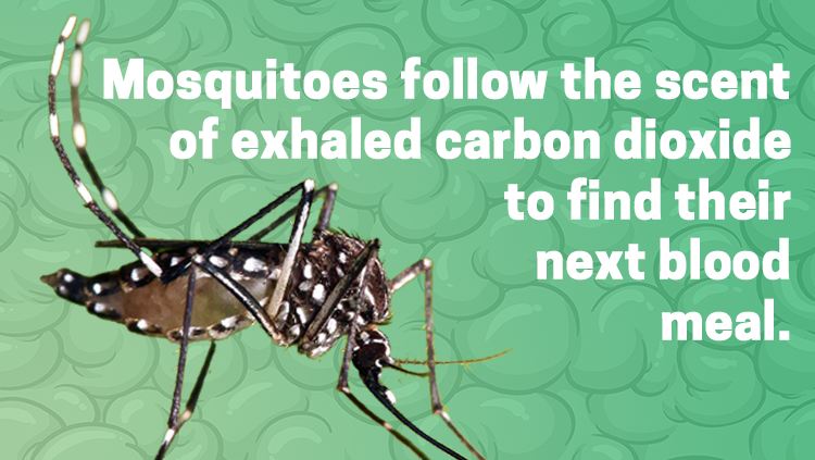 Image of a moquito, mosquitos follow the scent of exhaled carbon dioxide to find their next blood meal