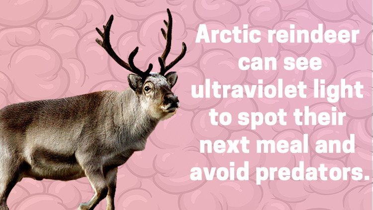 image of a reindeer, Artic reindeer can see ultraviolet light to spot their next meal and avoid predators