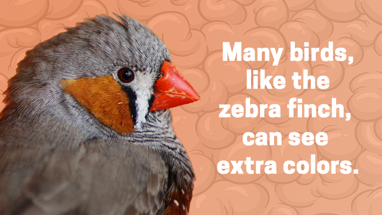 image of a zebra finch, many birds, like the zebra finch, can see extra colors