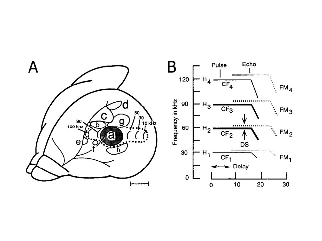 Image of the auditory cortex of a mustached bat.