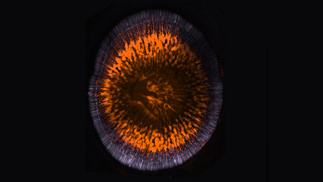 A developing zebrafish retina.