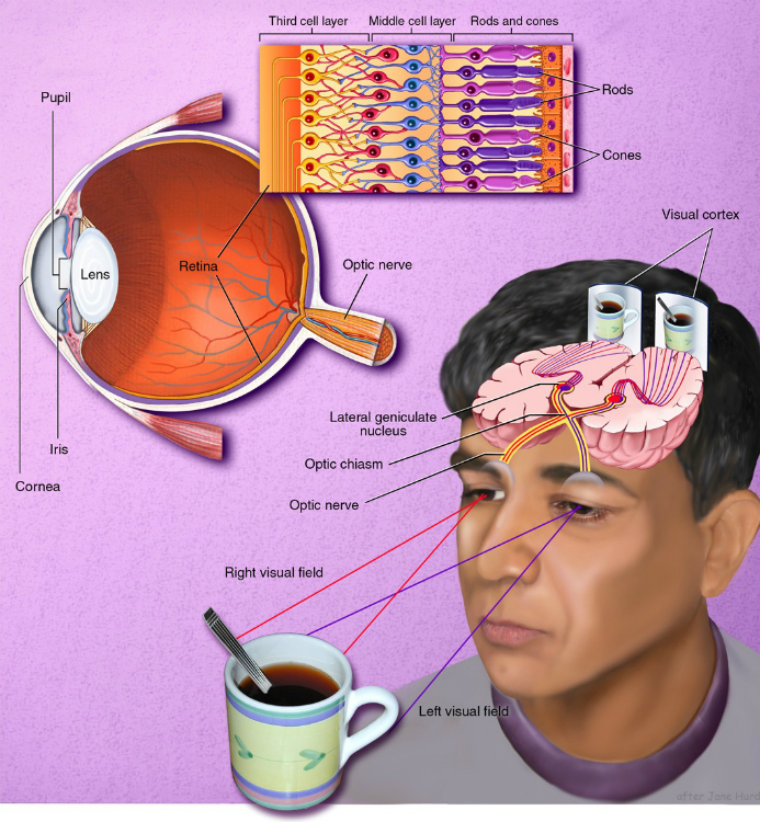 Diagram of vision receptors