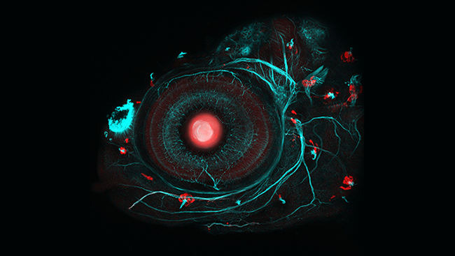 Neuromasts highlighted in red in a picture of a zebrafish eye.