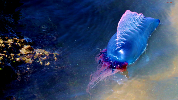 Photograph of a blue Man-o-War