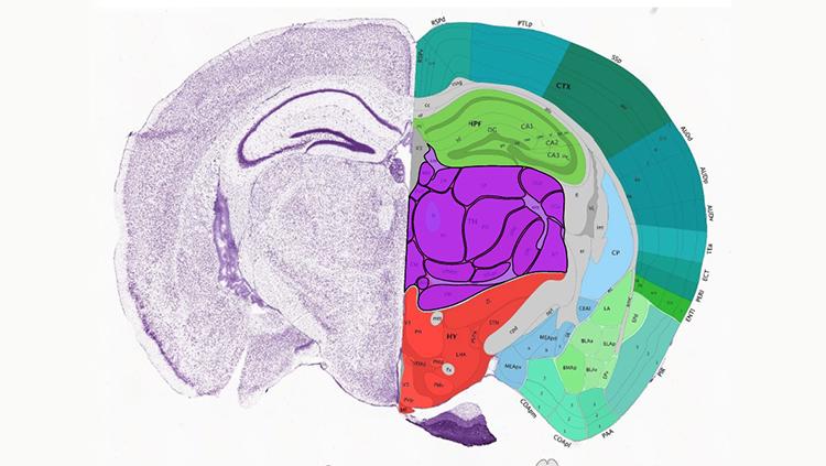 Image of the Allen Mouse Brain Atlas
