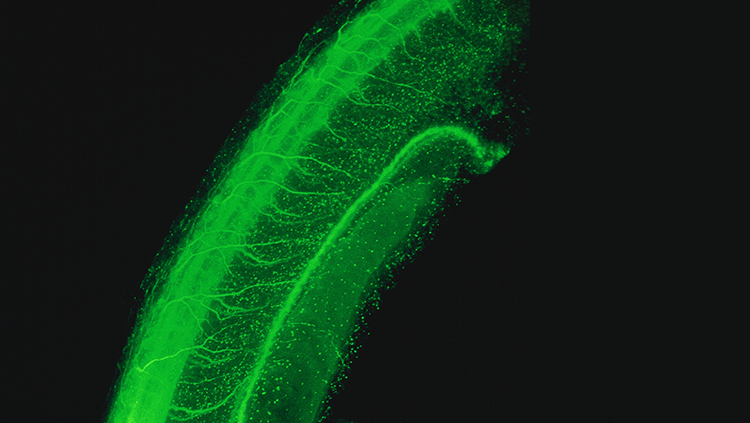 An image of a neural tube in green